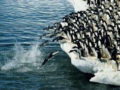 penguin-plunge